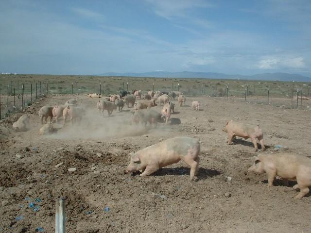 pigs-jpg.14395